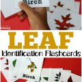 These printable leaf identification flashcards are a fun way to get kids interested in nature!