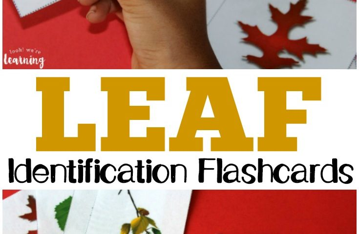 Free Printable Flashcards: Leaf Identification Flashcards