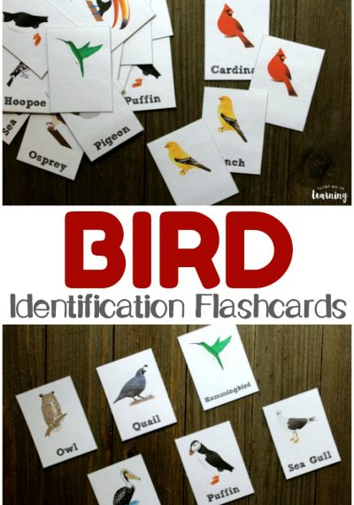 These printable bird identification flashcards are perfect for a fall or spring unit study! Teach kids how to identify the birds they see in the neighborhood!