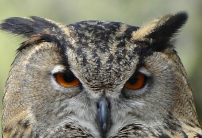 Homeschool Unit Studies: Owl Unit Study