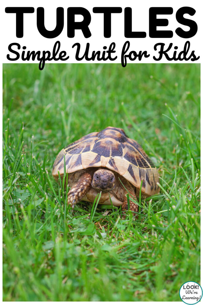 This simple turtles unit study is a fun way to teach kids about these shelled creatures!