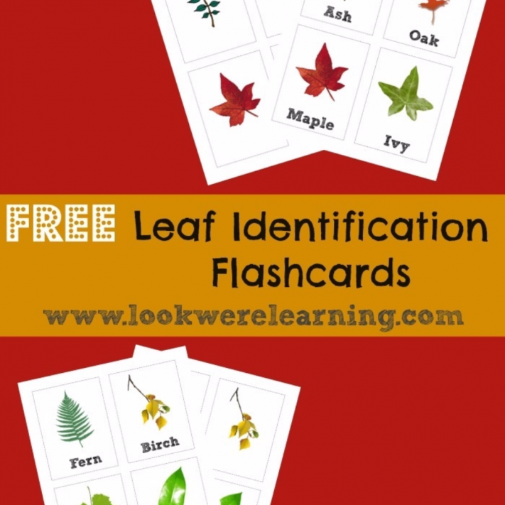Leaf Identification Flashcards - Look! We're Learning!