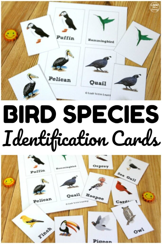 These simple bird species identification cards are fun for learning about common bird species during spring! Use them with early grades science lessons!