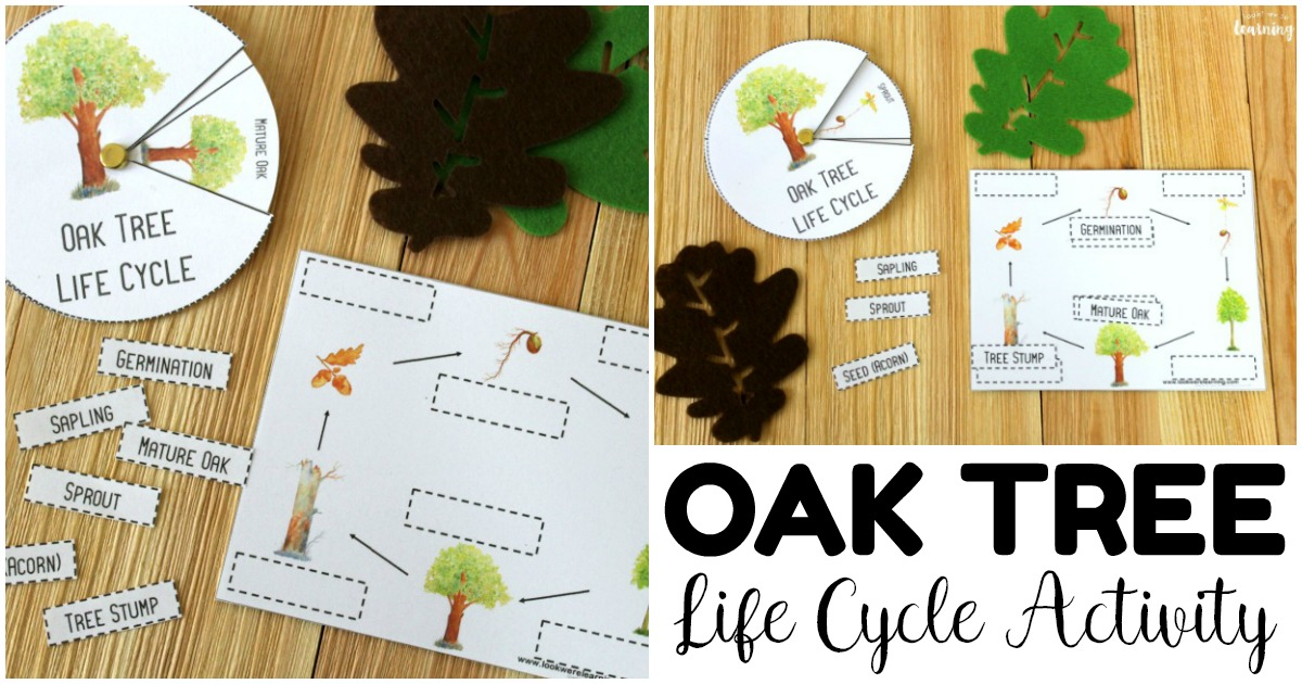 Easy Oak Tree Life Cycle Activity