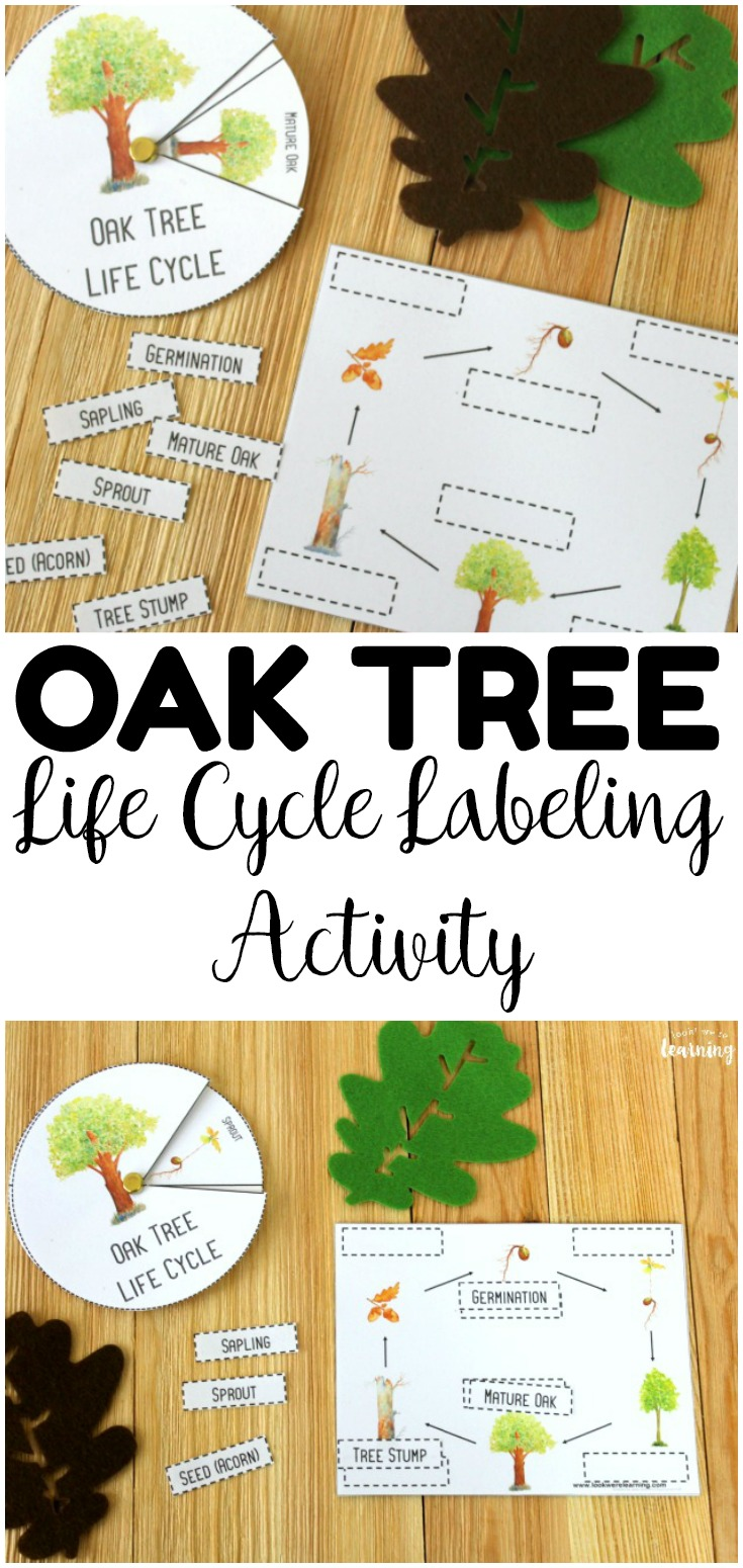 Learn about fall trees with this fun, hands-on oak tree life cycle activity for kids! Perfect for fall science centers!