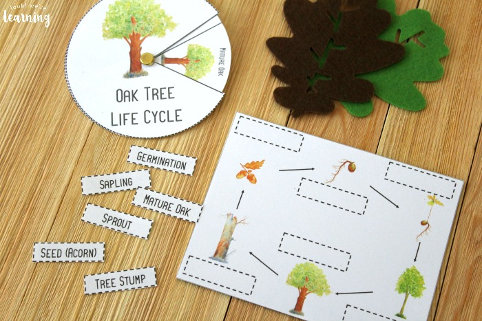 Oak Tree Life Cycle Activity for Kids