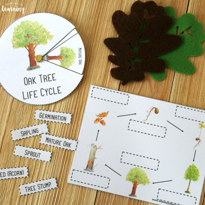 Oak Tree Life Cycle Activity