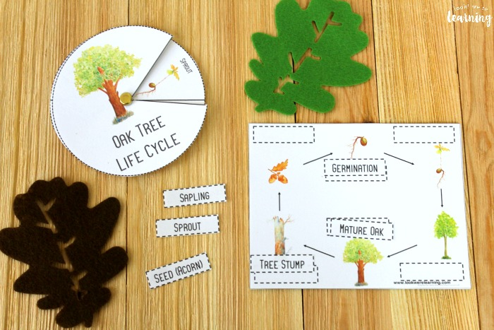 Oak Tree Life Cycle Labeling Activity
