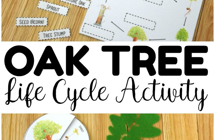 Printable Oak Tree Life Cycle Activity