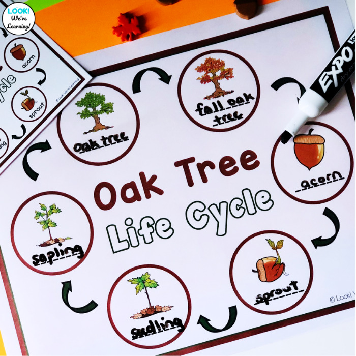 Label the Oak Tree Growth Cycle Activity