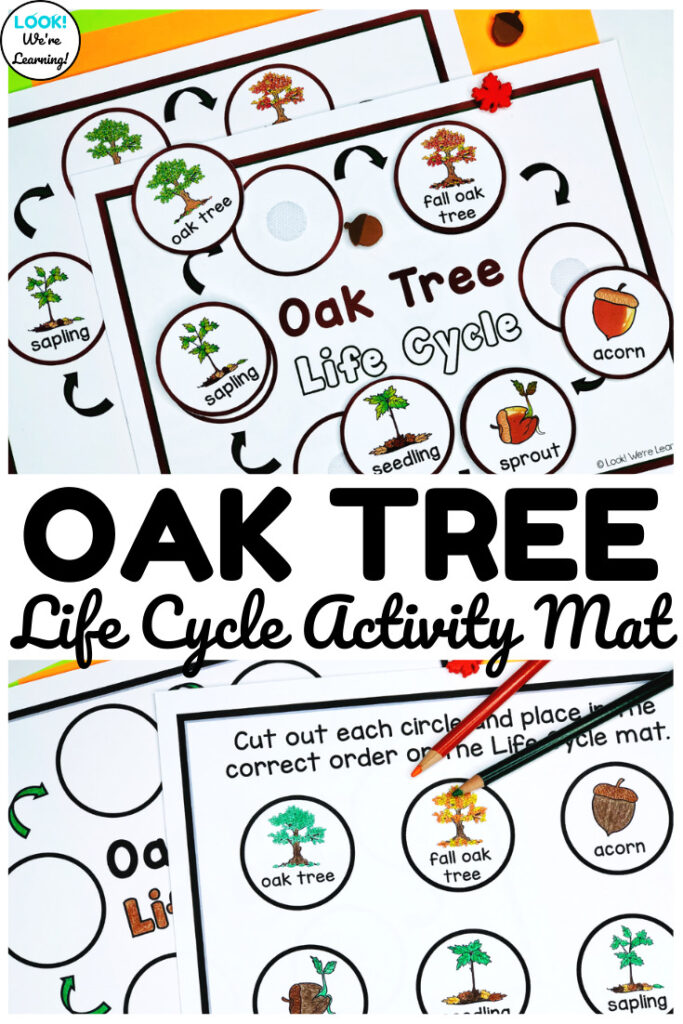 This hands-on oak tree life cycle sequencing activity makes learning about fall plant science fun for early grades!